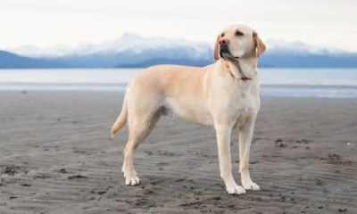labrador entre as racas de cachorros mais populares do brasil