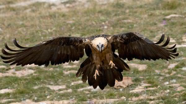 Abutre Barbudos entre as aves mais perigosas do mundo