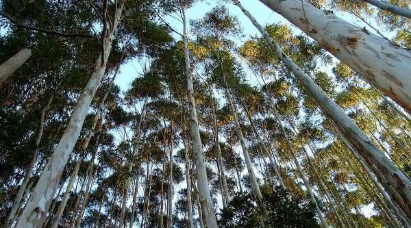 Eucalipto Transgenico entre as plantas que crescem mais rapido no planeta