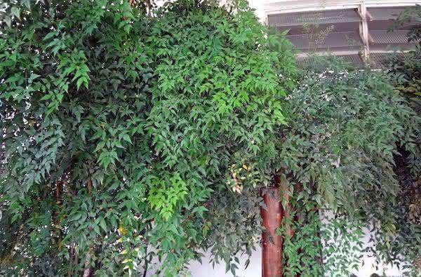 Nandina entre as plantas que crescem mais rapido no planeta