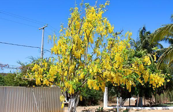 acacia entre as plantas que crescem mais rapido no planeta