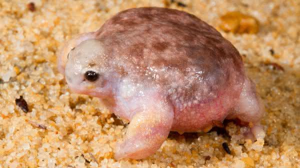 Turtle Frog entre os animais com superpoderes