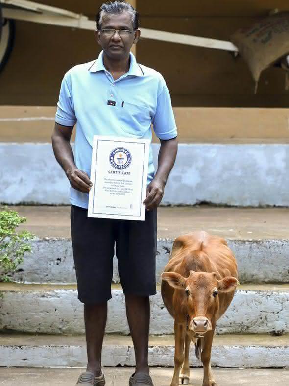 menor vaca do mundo entre os recordes feitos por animais