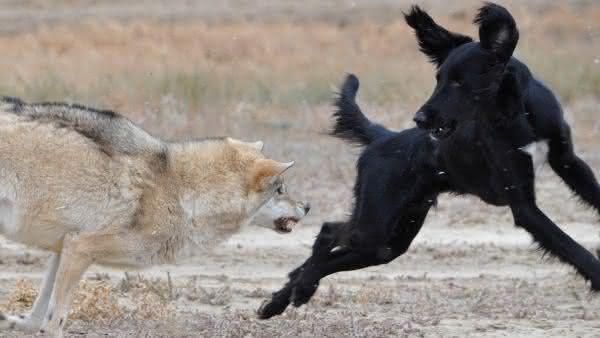lobo entre os assassinos mais brutalmente sociopatas da natureza