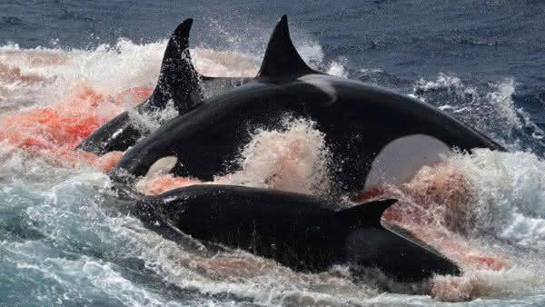 orca infanticidio entre os assassinos mais brutalmente sociopatas da natureza