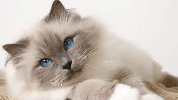 Birmanes entre as racas de gatos mais bonitas do mundo