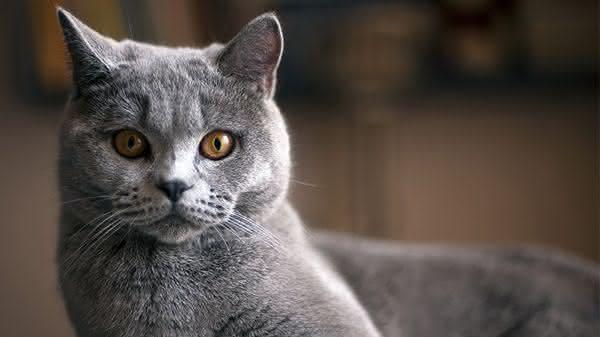 Gato de Pelo Curto Ingles entre as racas de gatos mais bonitas do mundo