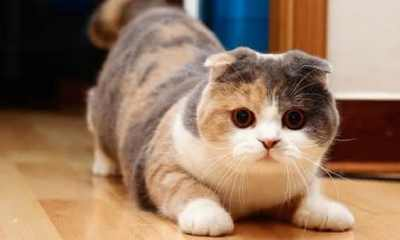 Scottish Fold entre as racas de gatos mais bonitas do mundo