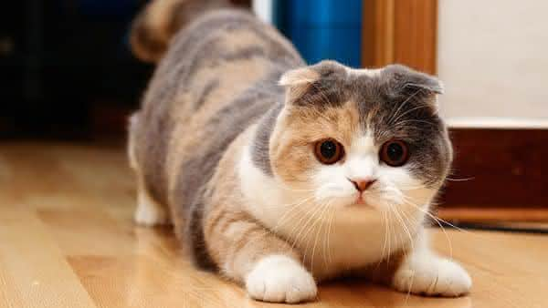 Scottish Fold entre as racas de gatos mais bonitas do mundo