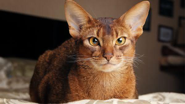 abissinio entre as racas de gatos mais bonitas do mundo