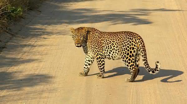 Leopardo entre os animais mais perigosos para cacar