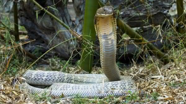 cobra rei entre as cobras mais venenosas do mundo