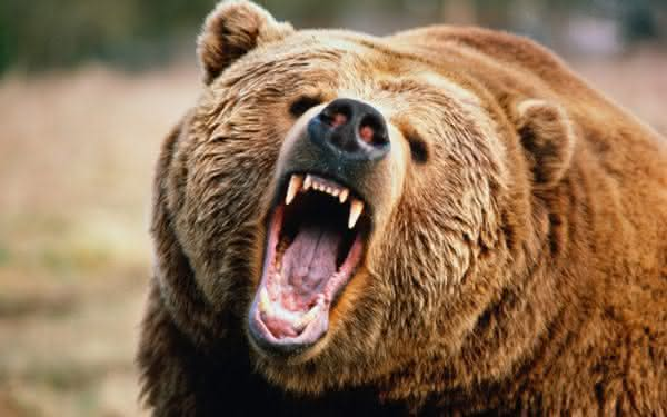urso cinzento entre os animais mais perigosos para cacar
