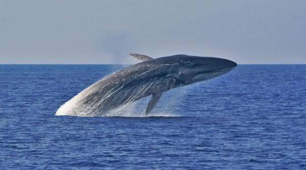 Baleia-Comum entre as maiores baleias do mundo