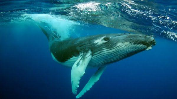 Baleia Jubarte entre as maiores baleias do mundo