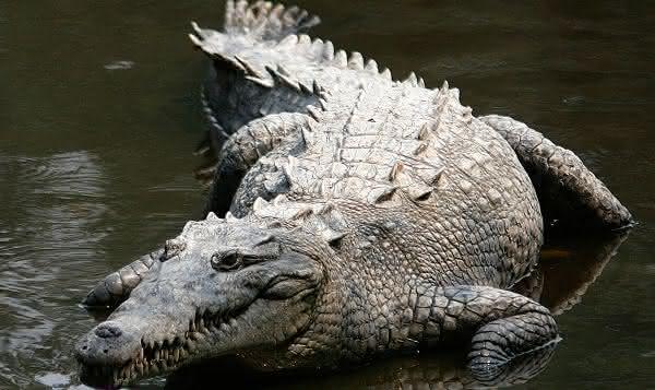 Crocodilo Americano entre os maiores repteis do mundo
