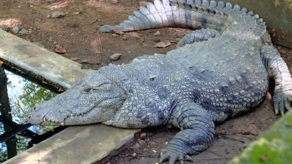Crocodilo-Persa entre os maiores repteis do mundo