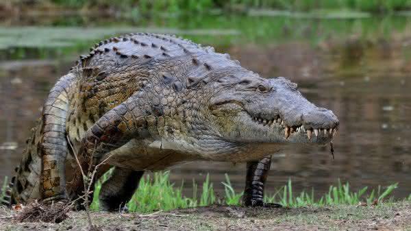 Crocodilo-do-Nilo entre os maiores repteis do mundo