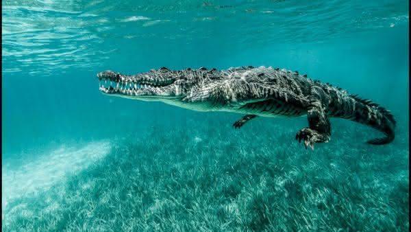 Crocodilo-do-mar entre os maiores repteis do mundo