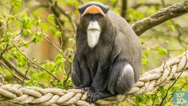 brazza monkey entre os animais de estimacao mais caros do mundo