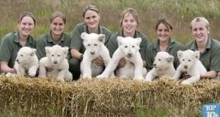 filhotes de leao branco entre os animais de estimacao mais caros do mundo