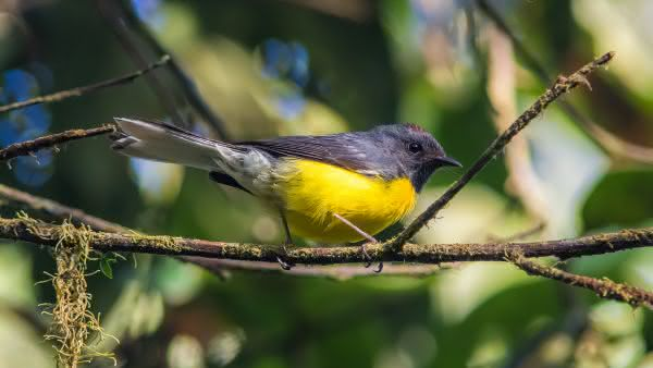 Mariquita menores aves do mundo