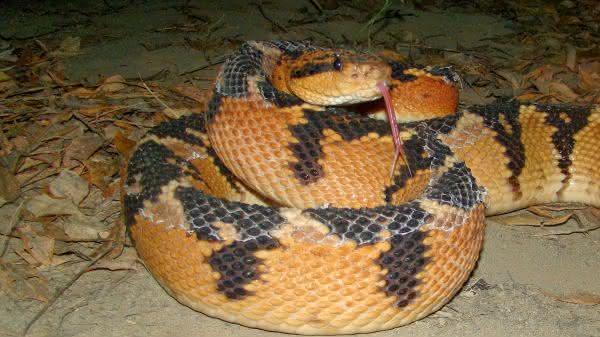 Surucucu-Pico-de-Jaca entre as cobras mais venenosas do brasil