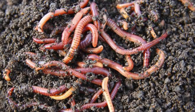 vermes entre os animais mais abundantes