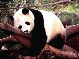 Panda gigante Animales Descubiertos Recientemente