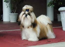 Shih Tzu Mejores Razas de Perros Pequeños del Mundo