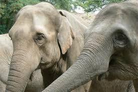 Elefante de Sumatra Top 10 Animales Con mayor Peligro de extinción del Mundo