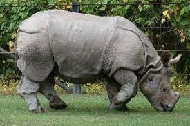 Javan Rhinoceros Top 10 Animales Con mayor Peligro de extinción del Mundo