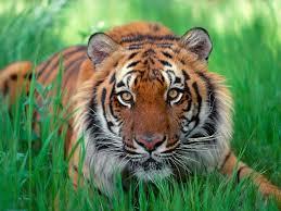 Tigre de Sumatra Top 10 Animales Con mayor Peligro de extinción del Mundo