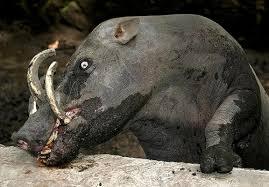 Babirusa - Animales mas extraños del mundo