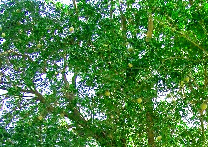 hojas de la manzana de madera