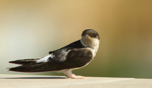 White-rumped Swift