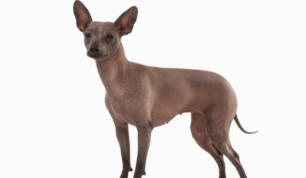 mexican-naked-dog