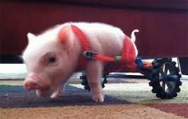 crippled pig