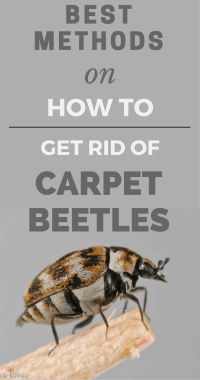 How To Get Rid Of Carpet Bugs - Carpet Ideas