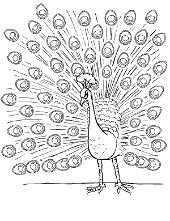 Peacock male