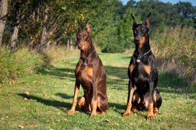Doberman najlepších plemien psov určených na stráženie strazne psy