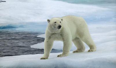 Polárny medveď Najväčší predátor na svete