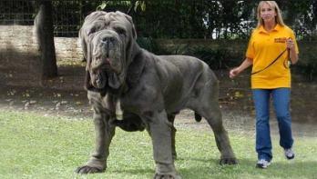 Neapolský mastiff najväčších plemien psov na svete najväčši pes na svete