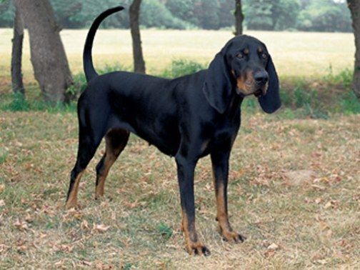 Coonhound pes