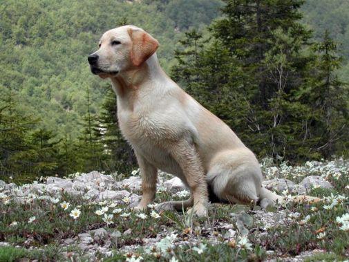 Labradorský retriever Psy s dobrým čuchom