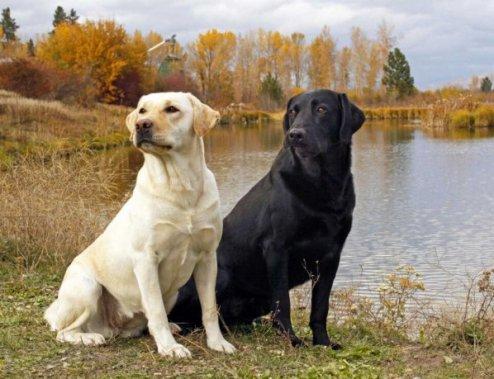 Labradorský retriever Ľahko trénovateľné psy
