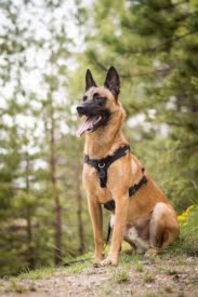 Malinois Psy s dobrým čuchom