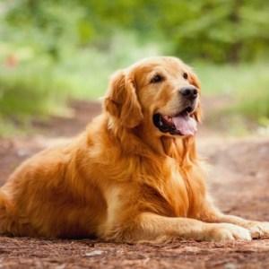 Zlatý retriever Plemena psov pre deti