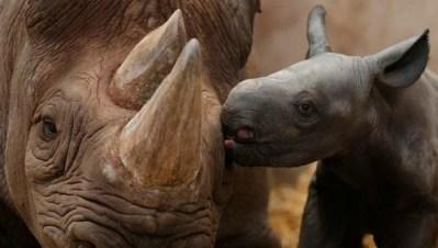 10. Baby nosorožec dáva jeho mama bozk