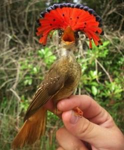 2. Amazónsky kráľovský flycatcher